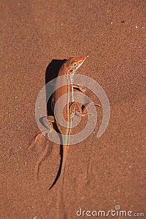 Red sand lizard