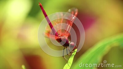 Dragonfly Red Scarlet Darter Male Animal Footage stock video