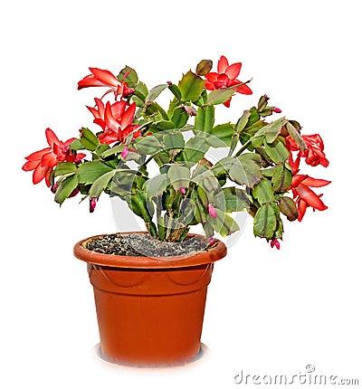 Free Red Schlumbergera Truncata Flowers In Flowerpot Stock Photo - 83651520