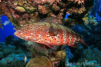 Red Sea Coral Grouper Stock Photo - Image: 14675420