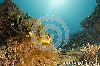Red sea coralgrouper (plectropomus pessuliferus)