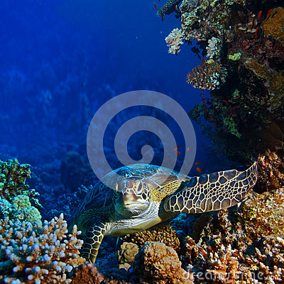 Red sea diving big sea turtle sitting between corals