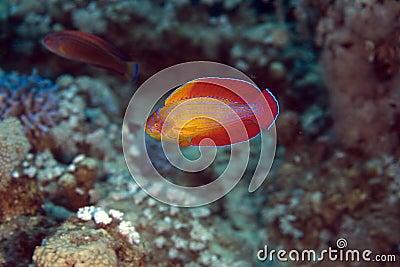 Red sea flasher wrasse (paracheilinus octotaenia)
