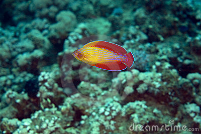 Red sea flasher wrasse (paracheilinus octotaenia)