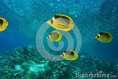Red Sea Raccoon Butterflyfish
