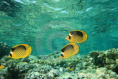 Red Sea Raccoon Butterflyfishes