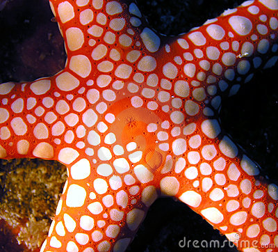 Free Red Sea Seastar Fish Royalty Free Stock Image - 1679316