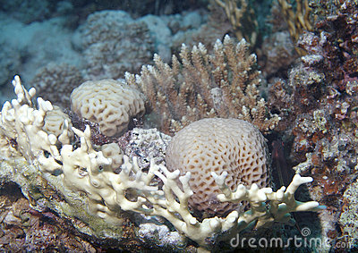 Red Sea underwater coral