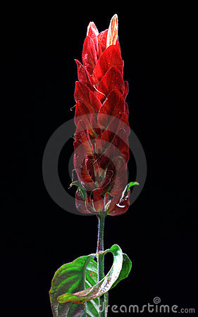 Red shrimp flower