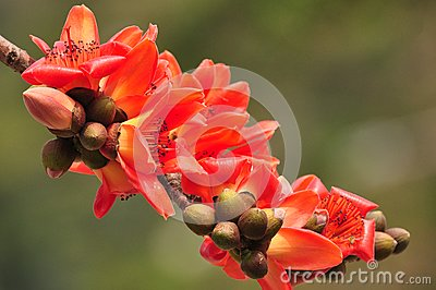 Red silk cotton tree flower