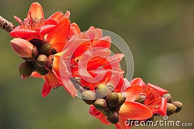 Red silk cotton tree flower