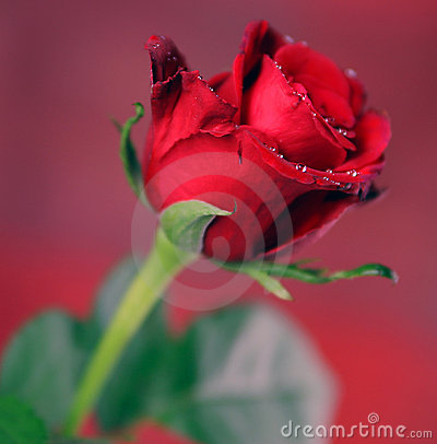 Red Single Rose
