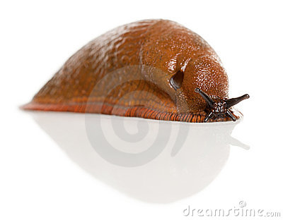 Red slug, Arion rufus
