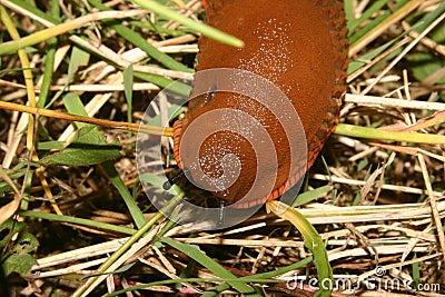 Red slug (Arion rufus)