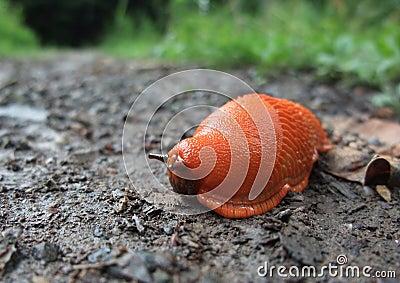 Red slug on the ground