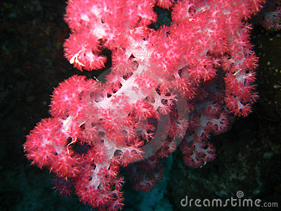 Red soft coral polyps