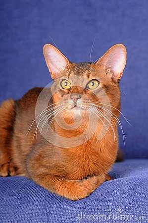Red somali cat lying on sofa