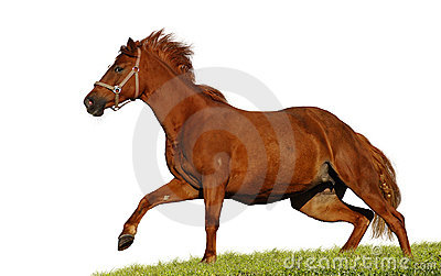 Red sorrel mare