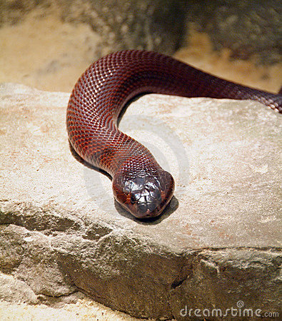 Free Red Spitting Cobra Royalty Free Stock Photography - 6555237