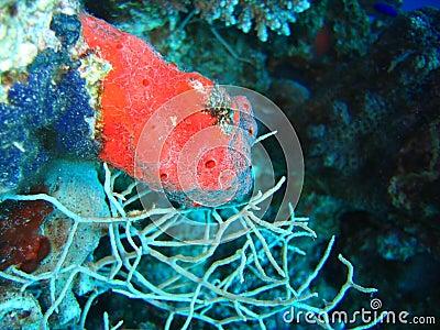 Red sponge-blue sponge