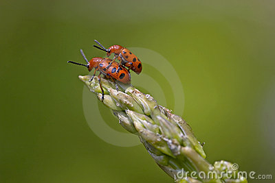 Red Spotted Asparagus Beetles Mating