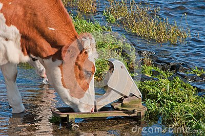 Red spotted cow drinking while standing in water