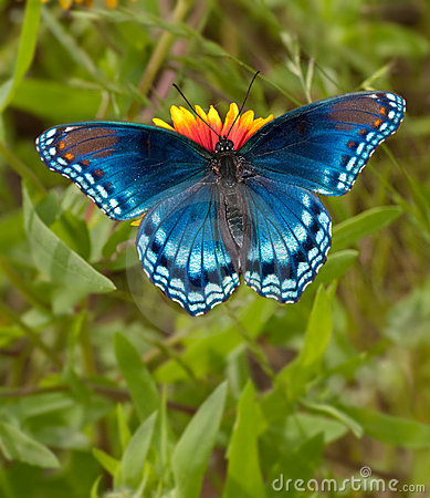 red spotted purple admiral butterfly royalty free stock