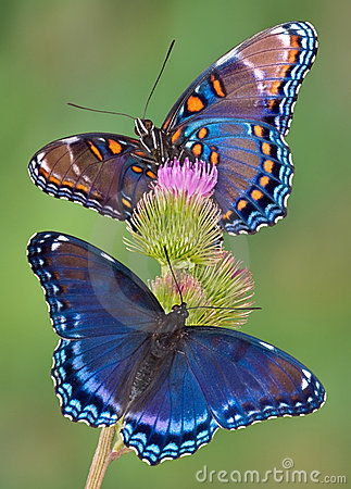 Red-spotted purple butterflies