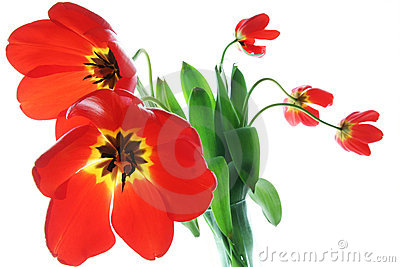 Red spring tulips in vase
