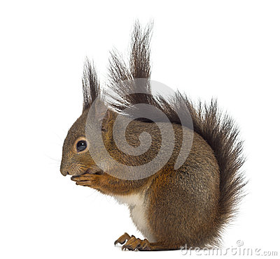 Free Red Squirrel Stock Photos - 60165713
