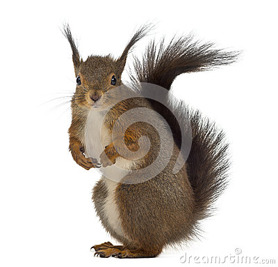 Free Red Squirrel Royalty Free Stock Photo - 60165845