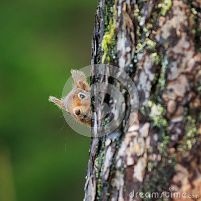 Free Red Squirrel Stock Image - 69098351