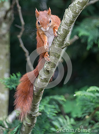 Free Red Squirrel Stock Photography - 94873072
