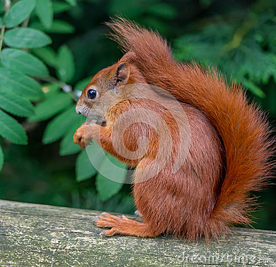 Free Red Squirrel Stock Image - 94873901