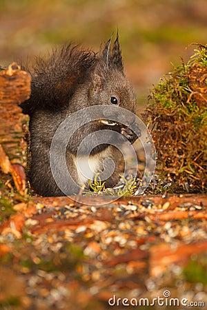 Red squirrel in Bavaria