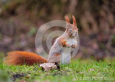 Red squirrel in Bavaria