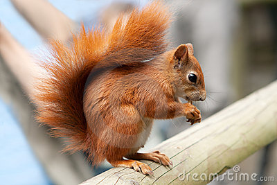 Red squirrel on beam
