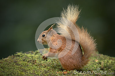 Red Squirrel with Bushy Tail.