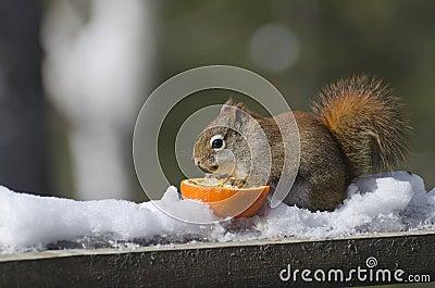 Red Squirrel Eating an Orange