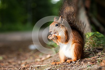 Red squirrel eating in a park