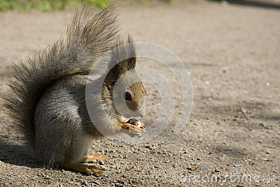 The red squirrel eats a nut