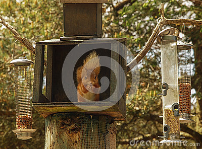 Red squirrel at Feeding Station