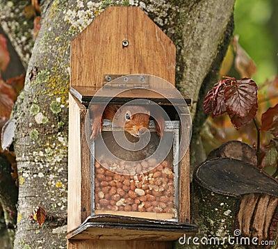 Free Red Squirrel Inside Peanut Feeder Stock Image - 10163411