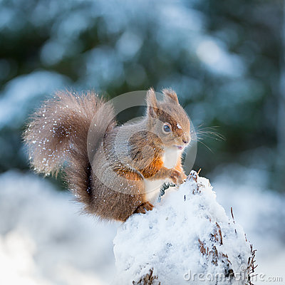 Free Red Squirrel Kitten In Snow Stock Photography - 49664682