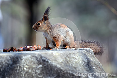 The red squirrel and nuts