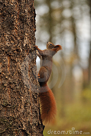 Red squirrel running on tree
