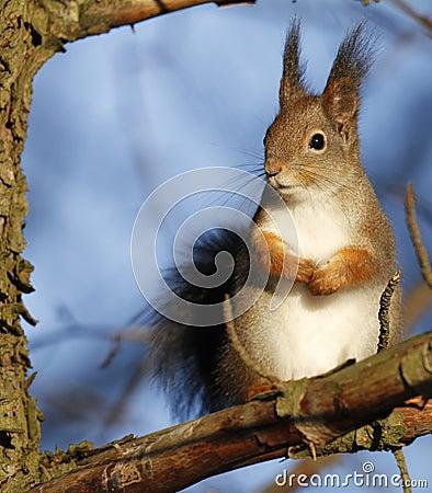 Free Red Squirrel Sciurus Vulgaris Royalty Free Stock Images - 99989689