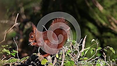 Red Squirrel, sciurus vulgaris, Adult Eating Hazelnut, Normandy in France, Real Time stock videobeelden