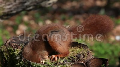 Red Squirrel, sciurus vulgaris, Adult Eating Hazelnut, Normandy in France, Real Time stock video