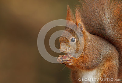 Red squirrel close-up